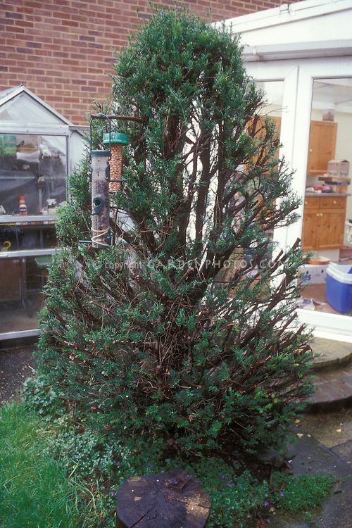 Pruned Evergreen Yew recovers. See first image. Second in series of three time lapse pictures of regrowth of pruning a tree