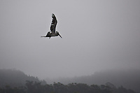 A brown pelican in flight with the fog covered Santa Cruz Mountains as background.  Pillar Point Harbor, California.