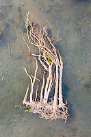 "A tree lies in the shallows of the Mekong River. Flooding along the river, in northern Cambodia, often leads to forests being destroyed. ""Flooding is a way of life along the lower Mekong River in Vietnam and Cambodia. Every year between August and November, monsoon rains fill the rivers of Southeast Asia, and the Mekong River Delta broadens well past its dry season levels. The annual floods carry nutrient-rich silt to farmland around the river and provide the moisture needed to grow vast fields of rice"", according to NASA's Earth Observatory."