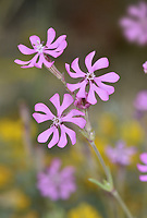 Pink Catchfly - Silene colorata
