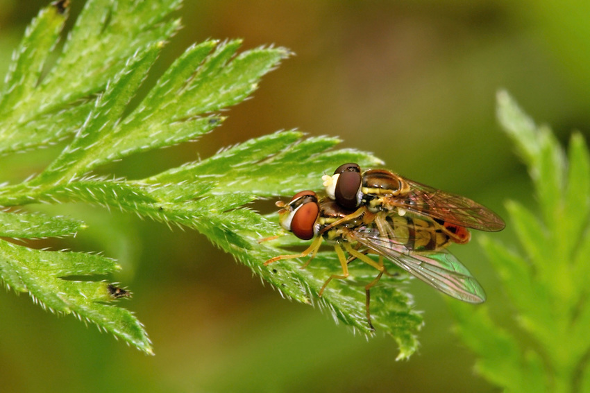 When birds or other predators see hoverflies, they avoid them, mistaking them for insects that sting.