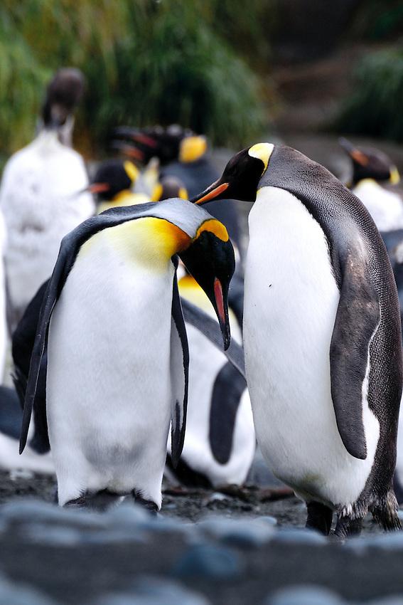 Lovebirds I - King penguins Macquarie Island