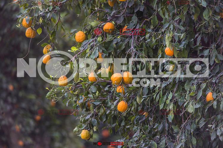 arbol de naranjas y toronjas   en la Yesca.