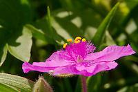 Bracted Spiderwort in Hayden Prairie State Preserve