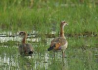 Egyptian Geese in the Okavango Delta, Botswana.