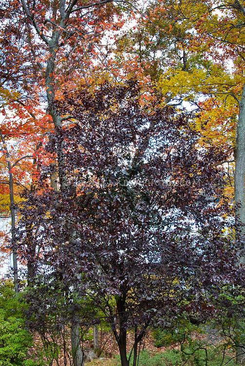 Prunus cerasifera Tree (Purple Leaf Plum) in fall autumn foliage with lake water in background