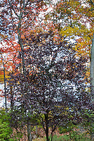 Prunus cerasifera Tree (Purple Leaf Plum) in fall autumn foliage with lake water in background