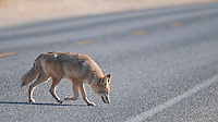 Coyote, Canis latrans, crossing Badwater Road in Death Valley National Park, California