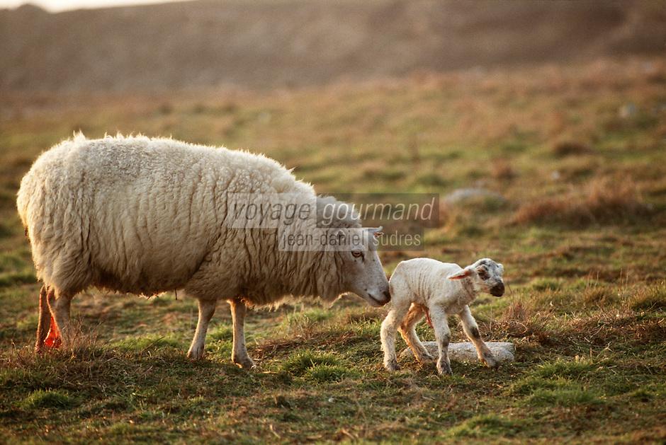 Europe/France/Bretagne/29/Finistère/Ile d'Ouessant: naissance d'un agneau
