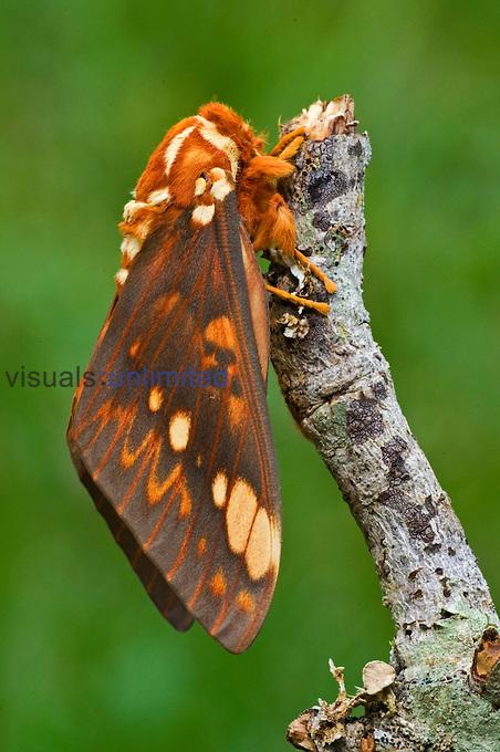 Male Saturnid Moth (Citheronia bellavista).