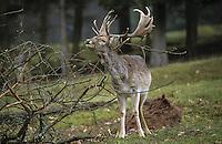 Damhirsch, Dam-Hirsch, Damwild, Männchen, Hirsch, Dam-Wild, Cervus dama, Dama dama, fallow deer