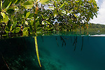Blue water mangroves with propagule seedling. North Raja Ampat, West Papua, Indonesia