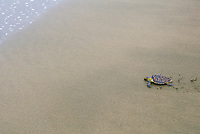 A young Hawksbill Turtle is released on a beach in fornt of observers from the local community. Eretmochelys imbricata. Playa Negra, Costa Rica.