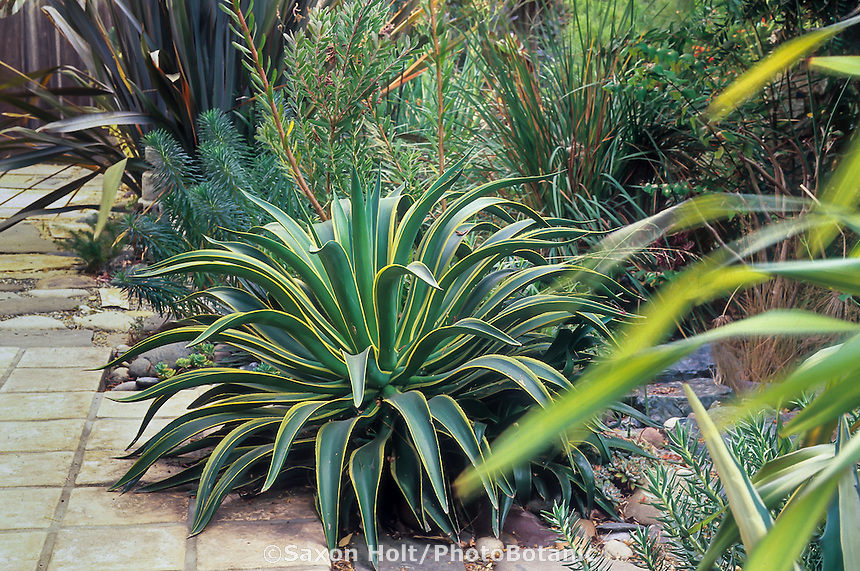 Agave desmetiana variegata, variegated foliage succulent, in California drought tolerant patio garden