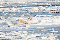 01874-12207 Polar Bear (Ursus maritimus) mother and cub rolling in snow near Hudson Bay  in Churchill Wildlife Management Area, Churchill, MB Canada