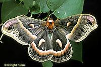 LE01-011x  Cecropia Moth - adult male - Hyalophora cecropia