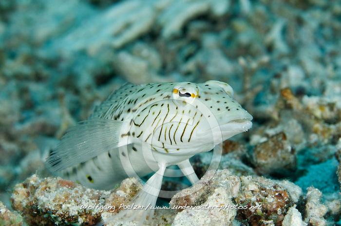 Parapercis hexophtalma, Schwanzfleck Sandbarsch Männchen, Speckled sandperch male, Paradise Riff Reef, Rotes Meer, Ägypten, Red Sea Egypt