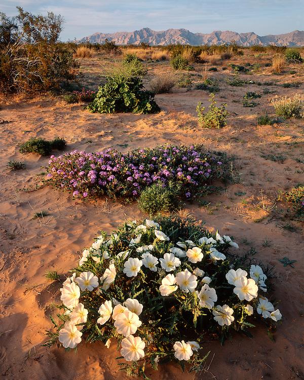 Vervain and Primrose in bloom on the Pinta Sands; Cabeza Prieta National Wildlife Refuge, AZ
