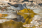 A Greater Yellowlegs sandpiper is feeding in a muddy river reflecting yellow light.