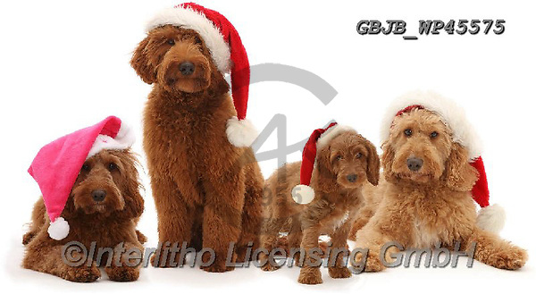 Kim, CHRISTMAS ANIMALS, WEIHNACHTEN TIERE, NAVIDAD ANIMALES, photos+++++,GBJBWP45575,#xa#
