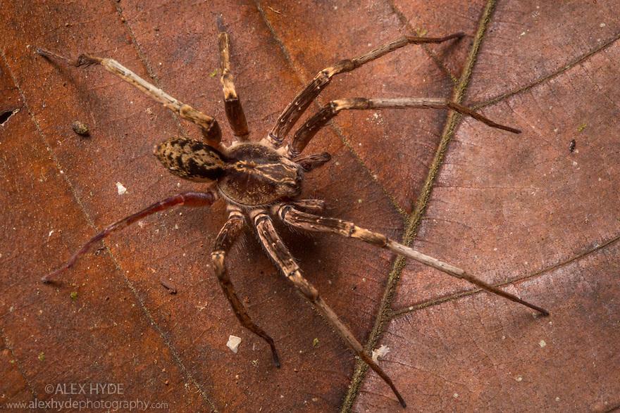 Wandering Spider [Ctenidae} on rainforest floor at night. Osa Peninsula, Costa Rica. May.
