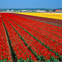 Netherlands, South Holland, near Lisse: Bollenstreek - the main tulip growing area between Leiden and Haarlem | Niederlande, Suedholland, bei Lisse: Bollenstreek (Deutsch: Blumenzwiebelgegend) ist das Haupt-Tulpenanbaugebiet zwischen Leiden und Haarlem