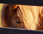 One of the local farm's horses peers through the slats of a fence at the end of the yard behind Aspen Dale Winery.