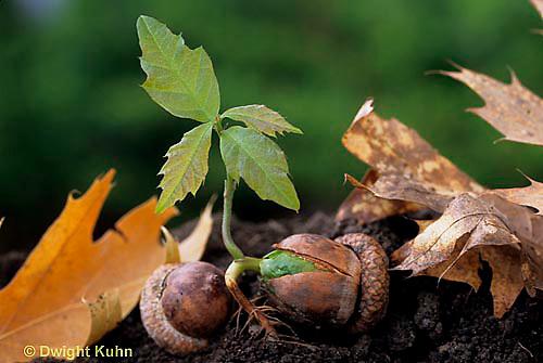 TT18-044d  Oak - acorn germinating, soil profile, roots - Quercus spp.