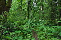 Moss covered trees and fern along a tree lined trail. Campbell river,Vancouver Island, British Columbia, Canada.