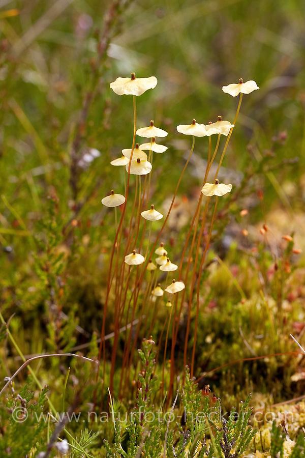 Schirmmoos, Schirm-Moos, Splachnum luteum, Umbrella Moss