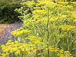 Yellow fennel plant flowers in garden, Suffolk, England, UK