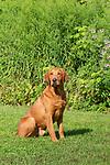 Fox red Labrador retriever