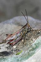 Nachtigall Grashüpfer, Nachtigall-Grashüpfer, Chorthippus biguttulus, Stauroderus biguttulus, Chorthippus variabilis, bow-winged grasshopper