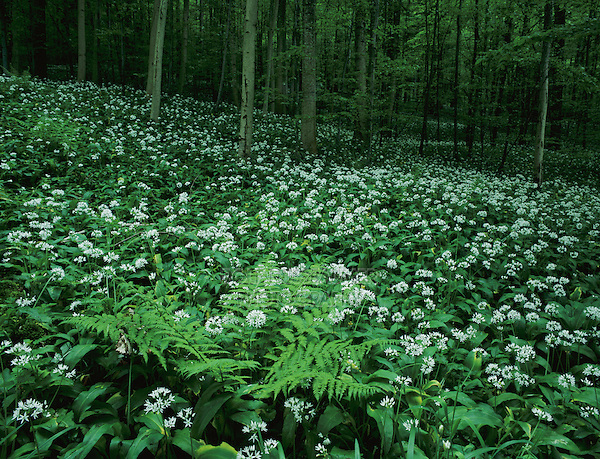 Bear's Garlic, Allium ursinum, blooming on forest floor, Zug, Switzerland, Europe