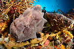 A giant frogfish, Antennarius commersonii, Cannibal Rock, Komodo National Park, Indonesia, Indian Ocean