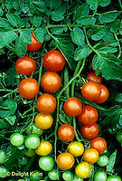 HS09-060b  Tomato - cherry tomato, sweet million variety