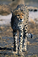 Cheetah, Acinonyx jubatus, Okavango Delta, Botswana, Africa