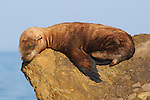 CA sea lion yearling