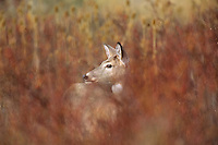 White-tailed deer doe standing among wild rose stalks/vines in late Fall.  Western U.S.