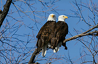 Bald Eagles (Haliaeetus leucocephalus) perched in tree along auto tour route in Lower Klamath National Wildlife Refuge, Oregon-California Border.  February.