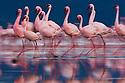 Lesser flamingos (Phoenicopterus minor) walking in lake, Lake Nakuru National Park, Kenya