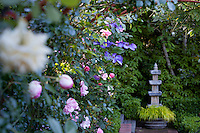 Blue flowering clematis vine entertwined with roses along path with stone pedestal in California garden