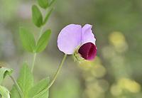 Cultivated Pea - Pisum sativum subsp. elatius