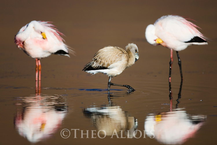 Bolivia, Altiplano, James' flamingos (Phoenicoparrus jamesi) with chick at Laguna Canapa