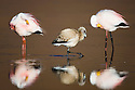 Bolivia, Altiplano, James' flamingos (Phoenicoparrus jamesi) with chick at Laguna Canapa