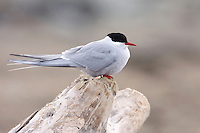 Arctic Tern Sterna paradisaea - Breeding Adult.  L 35cm. Graceful seabird with buoyant flight. Plunge-dives for fish. Sexes are similar. Adult has grey upperparts, black cap, and pale underparts, palest on cheeks, darkest on belly. Has uniformly red bill, short, red legs and long tail streamers. In flight from below, flight feathers look translucent, with narrow, dark trailing edge to primaries. Juvenile has white underparts, incomplete dark cap and scaly grey upperparts. In flight from above, has dark leading edge, and white trailing edge, to inner wing. Legs and bill are dull. Voice Utters harsh krt-krt-krt call near nest. Status Locally common summer visitor and passage migrant. Colonial nester, always near coasts; commonest in N.9