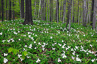 Trillium grandiflorum, Michalsen Preserve, The Nature Conservancy, Wisconson