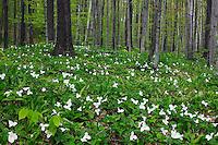 Trillium grandiflorum, Michalsen Preserve, The Nature Conservancy, Wisconson
