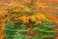 ORPTH_109 - USA, Oregon, Portland, Hoyt Arboretum, Autumn color of American beech trees (Fagus grandifolia).