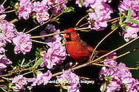 01530-07305  Northern Cardinal (Cardinalis cardinalis) male on Azalea bush Marion Co. IL